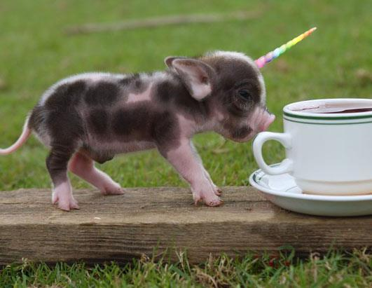 Daniel José Older On Twitter   And Now  A Baby Unicorn Pig