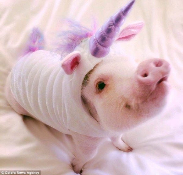 Hamlet The Fancy Dress Micro Pig Becomes Internet Star