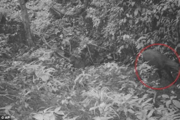 Rare 'asian Unicorn' Photographed In Vietnam Forest For The First
