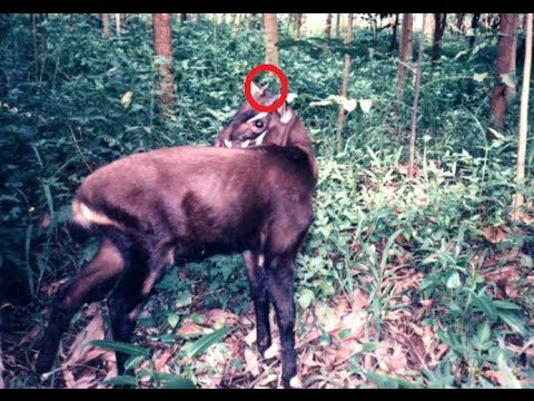 Rare Asian Unicorn,saola,discovered In Vietnam