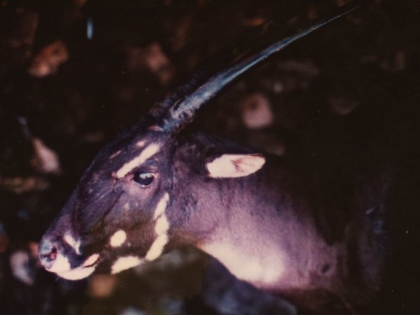 The Endangered Asian Unicorn Saola