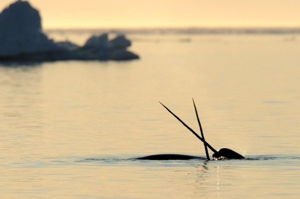 The Unicorn Of The Sea  Ten Facts About Narwhals
