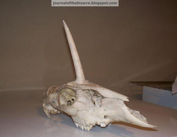 Unicorn' Skull