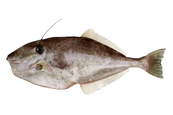 Aluterus Monoceros