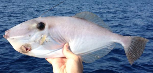 Filefish, Unicorn Regulations