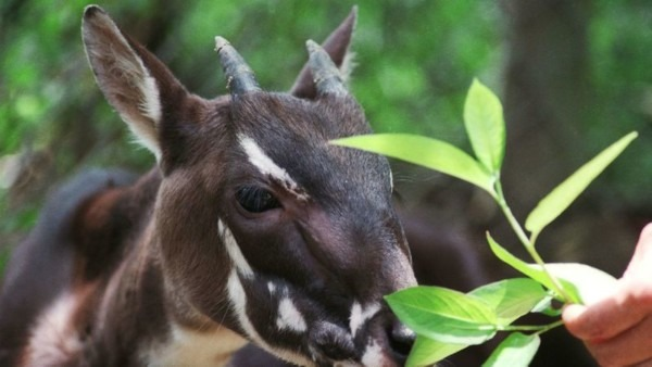Petition ·save The Saola! The Saola, Also Known As The Asian