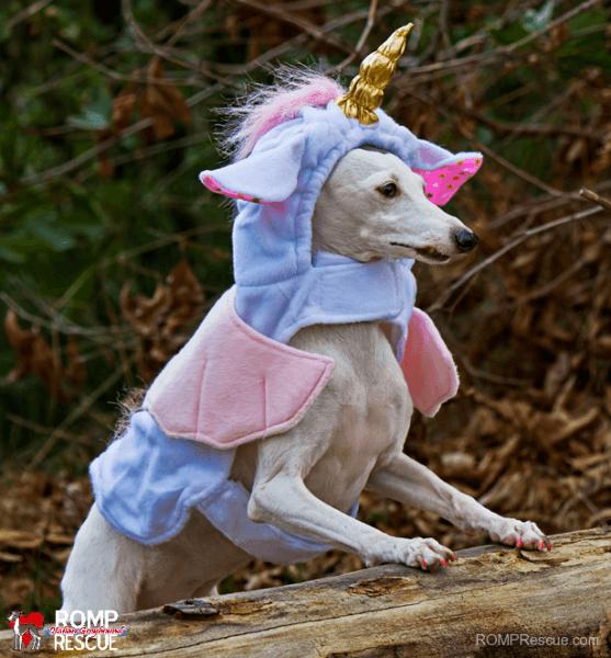 Italian Greyhound, Halloween Costume, Halloween, Costume, Unicorn