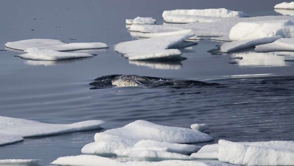 Narwhals Helping Nasa Understand Melting Ice