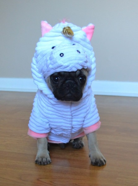 Pug In Unicorn Costume & Bee Bold The Adorable Pug From Perth Has