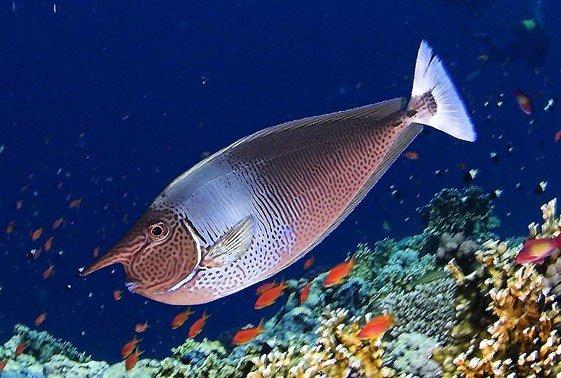 Spotted Unicorn Tang (naso Brevirostris) Saltwater Fish For Sale