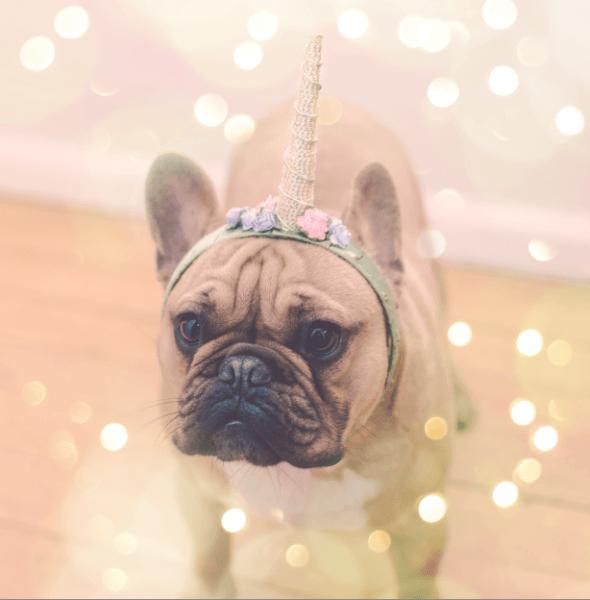 Dexter  French Bulldog  Unicorn Dog  Dreamer Of Dreams  (hahaha