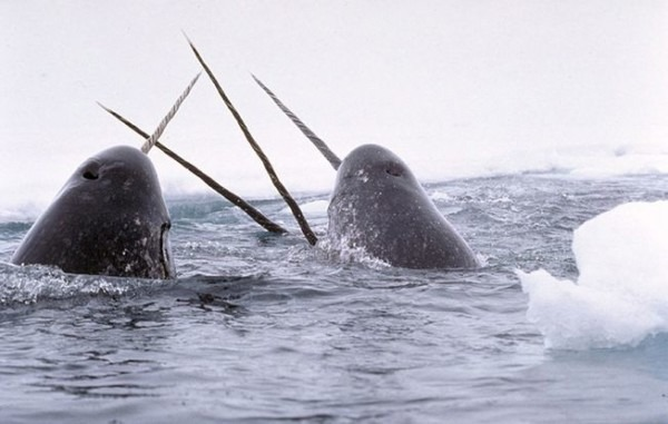 Now We Know The Reason For The Narwhal's Tusk