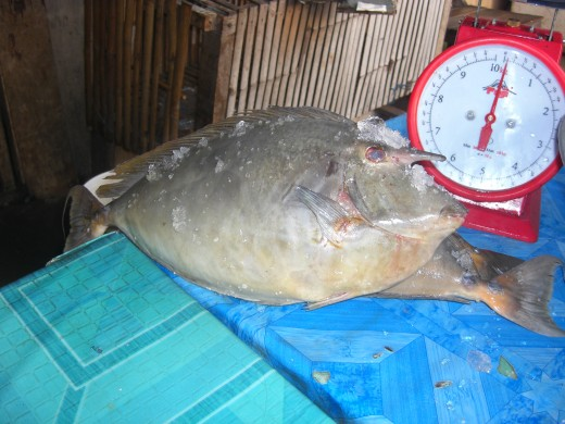 Meet The Unicornfish  The Weird (but Delicious) Fish