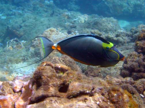 Naso Lituratus  Hugupau  Orangespine Unicornfish