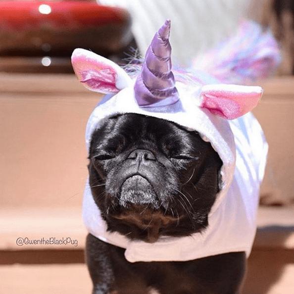Pugcostume — Pugcity — Pug Jokes