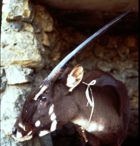 Elusive 'asian Unicorn' Faces Extinction