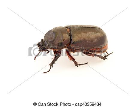 Female Rhinoceros Beetle, Rhino Beetle, Hercules Beetle, Unicorn